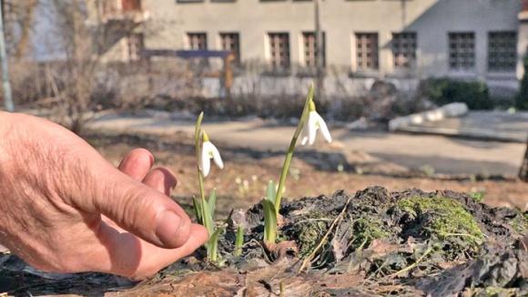 У Канівському заповіднику розцвіли підсніжники